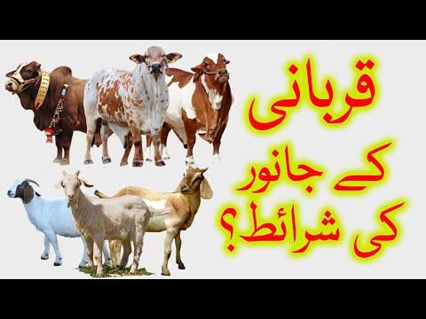 🎦  عید قربان 4   قربانی کے جانور کی اہم صفات کونسی ہیں؟ - Urdu