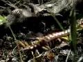 Giant Centipede vs Tarantula - English
