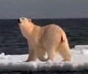 Natures Perfect Predators - Polar Bear - English