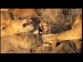 Worlds Fastest Land Animal - Cheetah - English