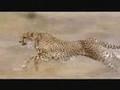 Cheetah hunting - PLEASE MUTE AUDIO BEFORE WATCHING