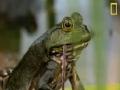 Bullfrogs Eat Everything - English